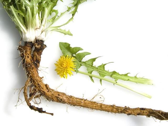 Настой корней одуванчика против паутинного клеща