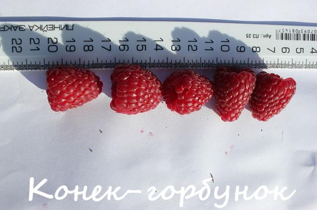 Новый сорт малины от питомника Школьный сад Конек-горбунок