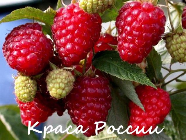 Плодовая ветка малины сорт Краса России