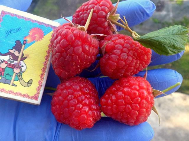 Крупные ягоды малины Кванза
