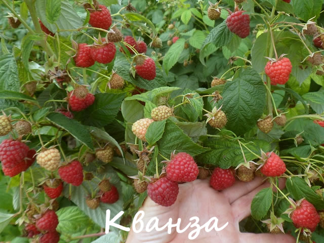 Плодоносящий куст сладкой малины сорт Кванза