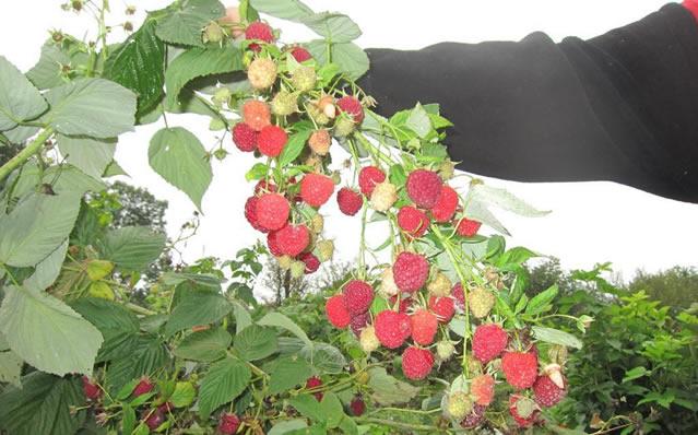 Плодоносящий стебель малины Кванза