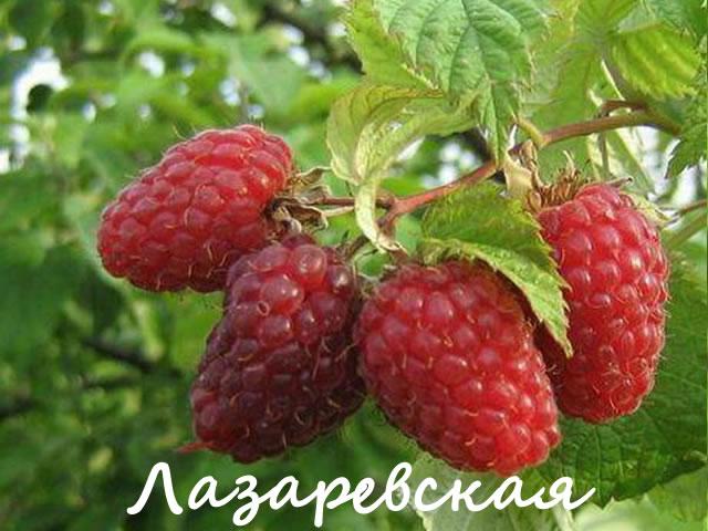 Ягоды малины сорт Лазаревская крупным планом