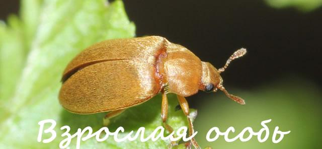 Взрослая особь малинного жука