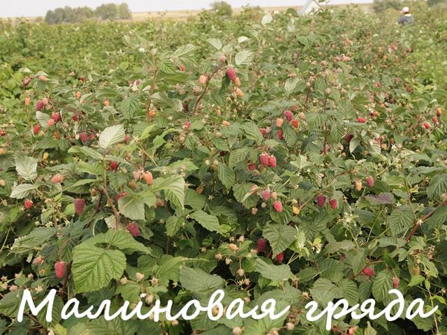 Плодоносящие кусты малины Малиновая гряда