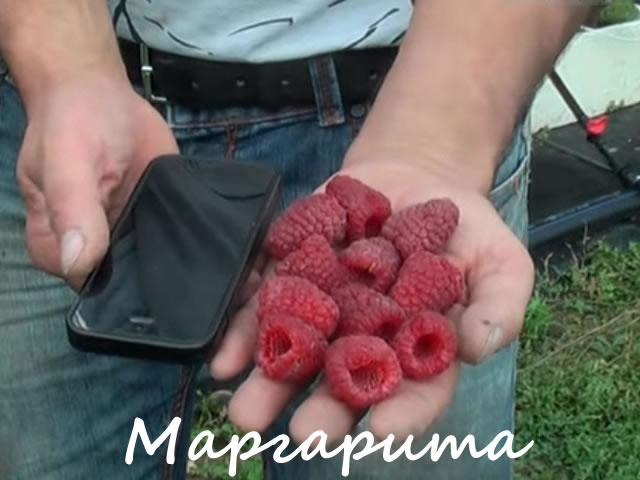 Сорт сладкой малины Маргарита