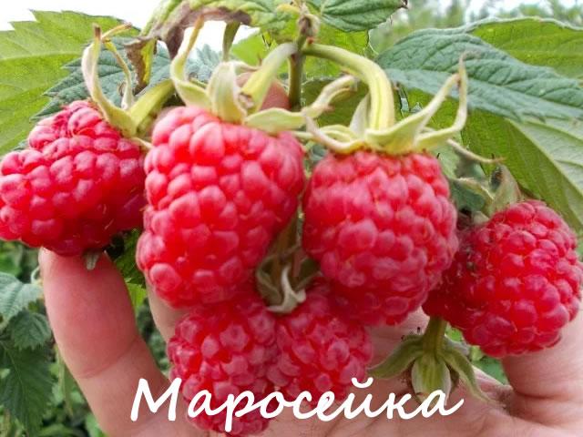 Плоды малины Маросейка крупным планом