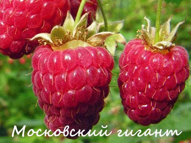 Ягоды малины Московский гигант крупным планом