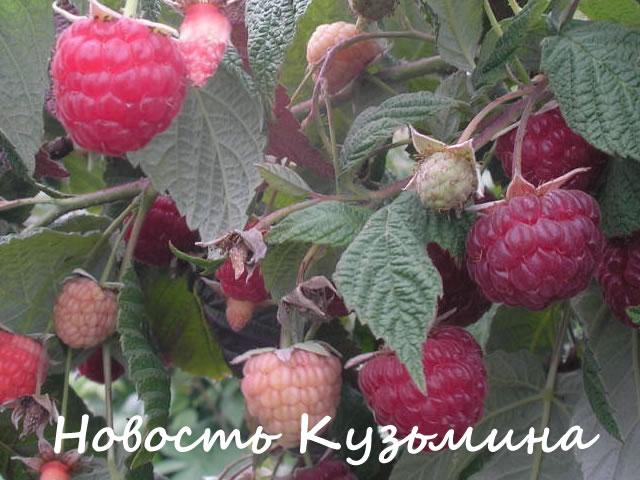 Плодоносящие побеги малины сорт Новость Кузьмина