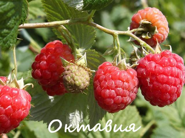 Плодоносящая веточка малины сорт Октавия