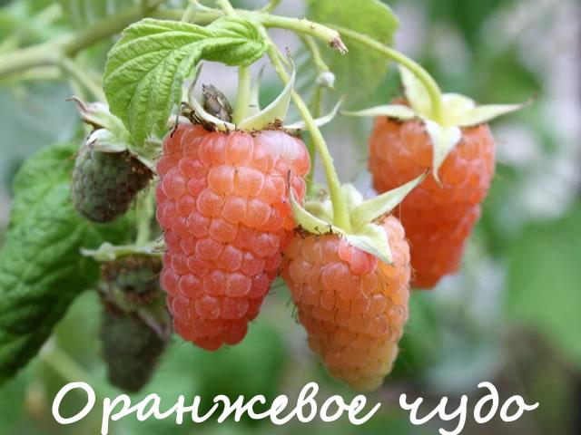 Крупные ягоды желтой малины Оранжевое чудо
