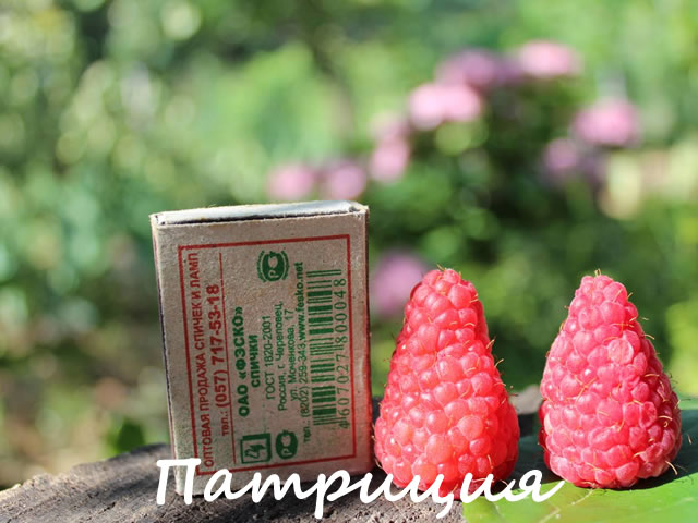 Сравнение ягод малины Патриция со спичечным коробком