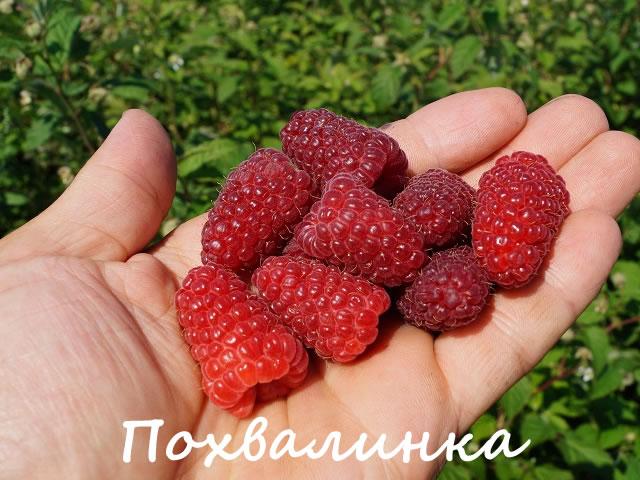 Крупные ягоды сорта Похвалинка на ладони