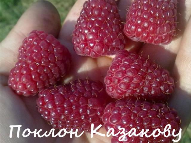 Ягоды малины сорт Поклон Казакову