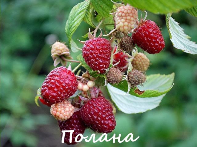 Плодоносящая ветка малины сорт Полана
