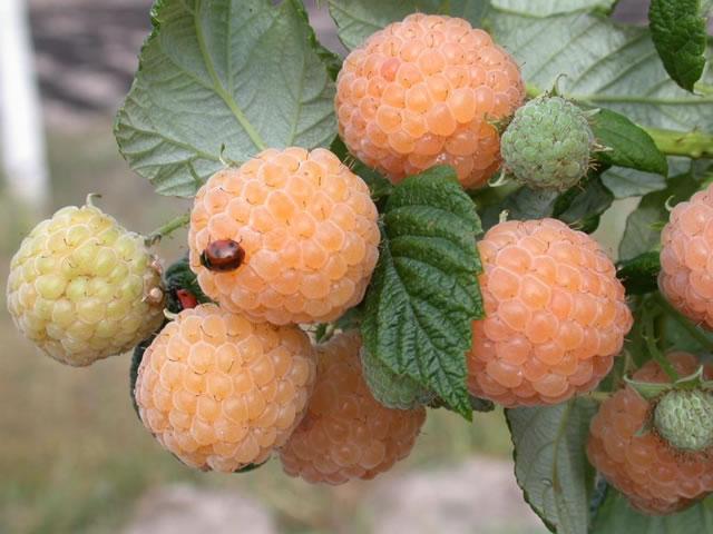 Плоды малины сорт Утренняя роса крупным планом