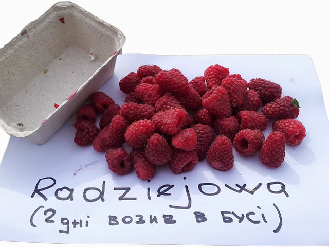 Урожай малины сорт Радзиева
