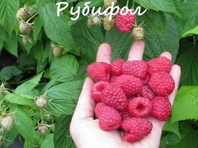 Крупные ягоды сладкой малины Рубифол