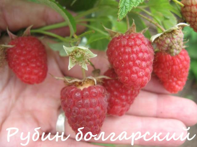 Сорт малины Рубин болгарский