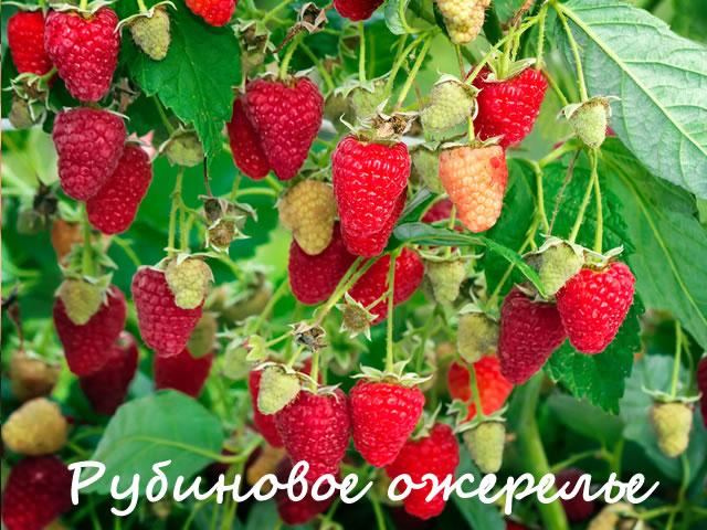 Плодоносящий куст малины Рубиновое ожерелье