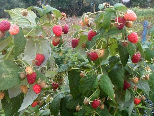 Плодоносящий куст малины сорт Рубифол