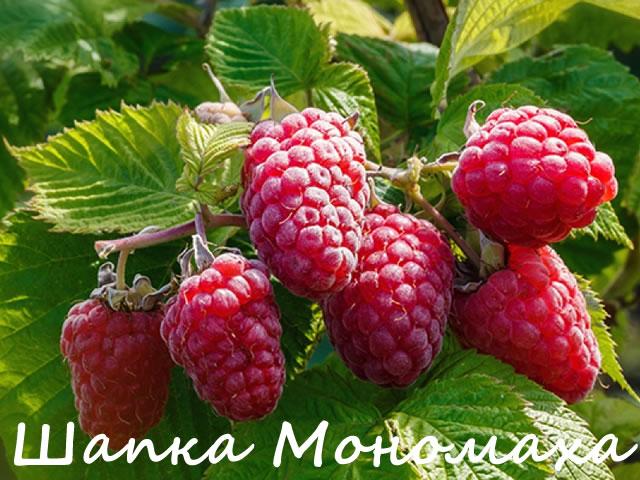 Плодовая ветка малины сорт Шапка Мономаха