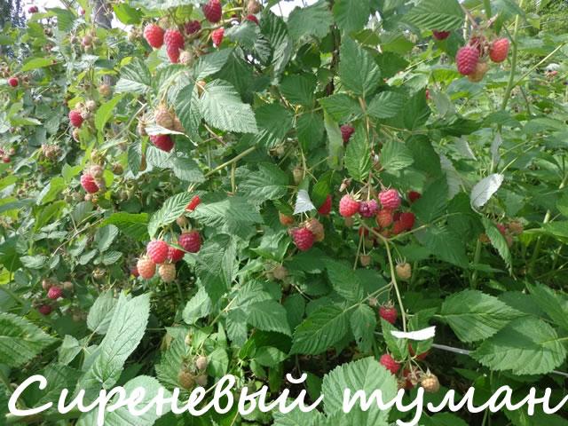 Плодоносящий куст малины сорт Сиреневый туман