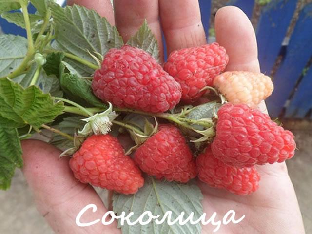 Плоды малины сорт Соколица крупным планом