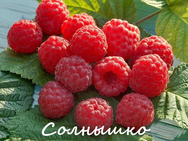 Выровненные ягоды малины сорт Солнышко