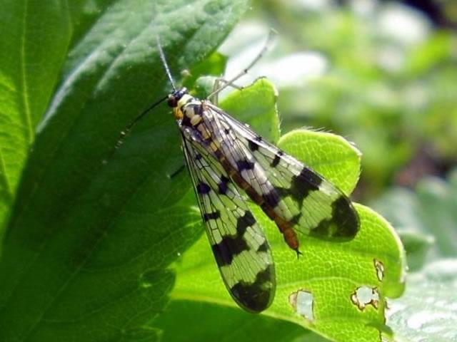Самка малинной стеблевой мухи