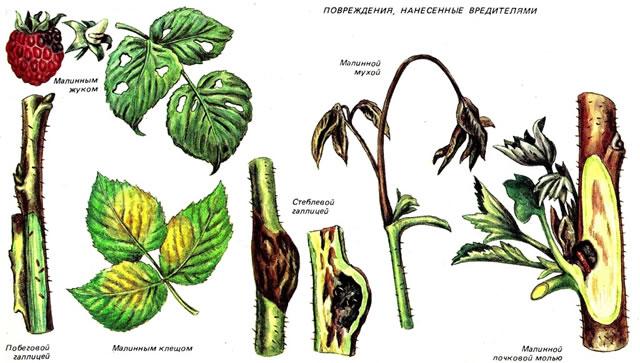 Поражения от малинного жука, стеблевой галлицы, малинной стеблевой мухи, малинно почковой моли