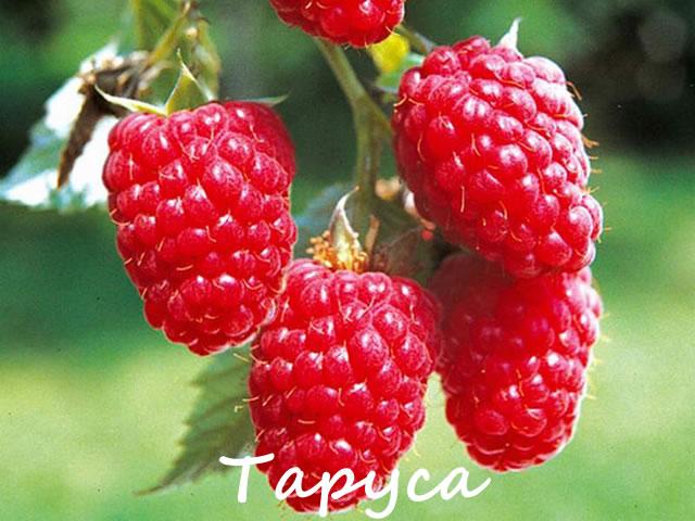 Плоды малины Таруса крупны планом