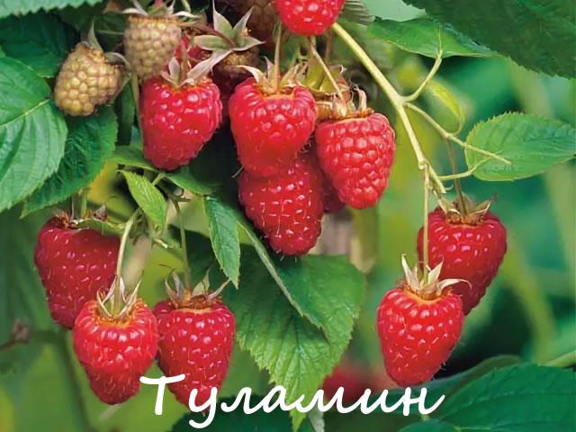 Ягоды малины Туламин крупным планом
