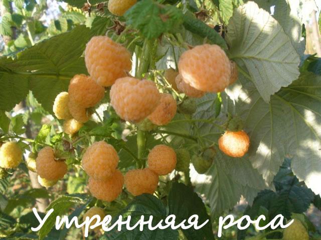 Желтая малина для средней полосы России
