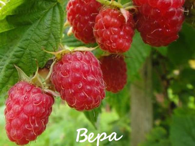 Ранние ягоды малины сорт Вера