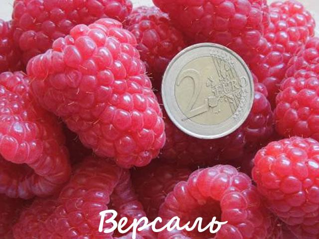 Крупные ягоды малины сорт Версаль в сравнении с монетой