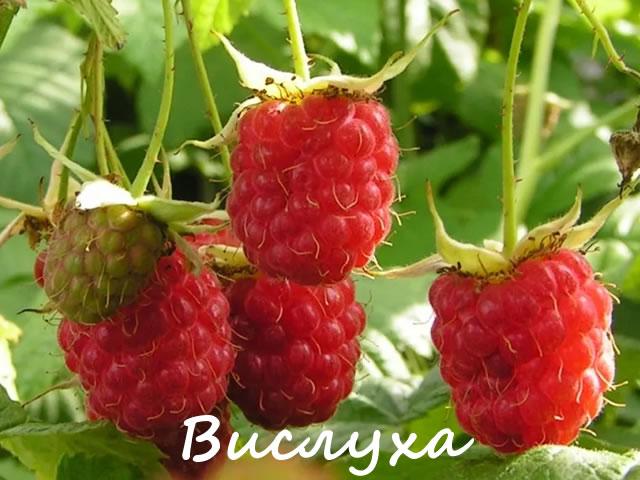 Красные ягоды малины сорт Вислуха
