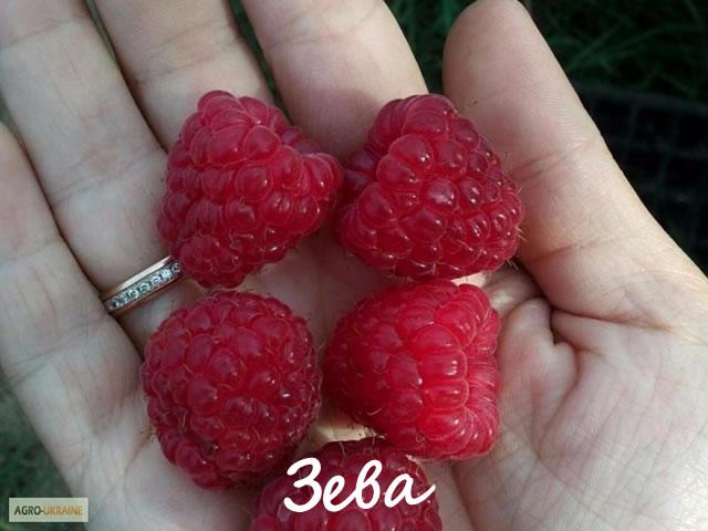Плоды малины сорт Зева на ладони