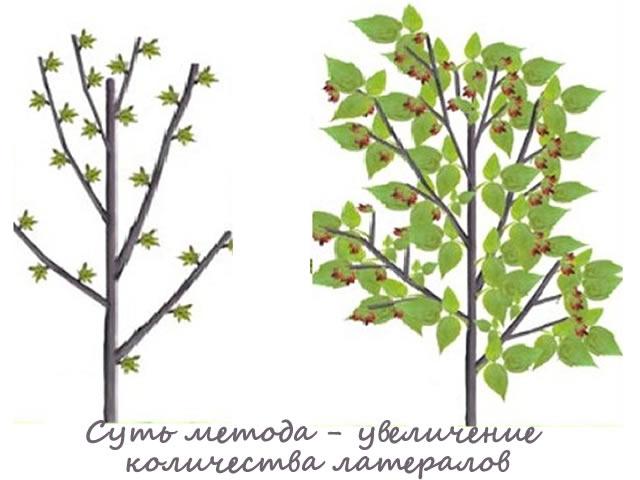 Кусты малины после двойной обрезки