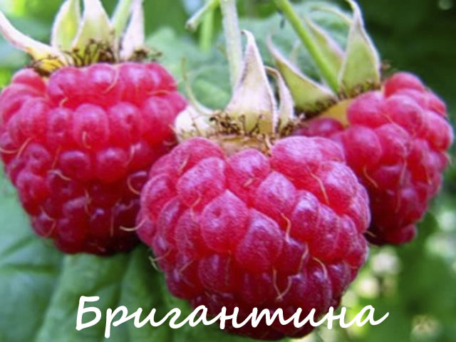 Плоды малины сорт Бригантина