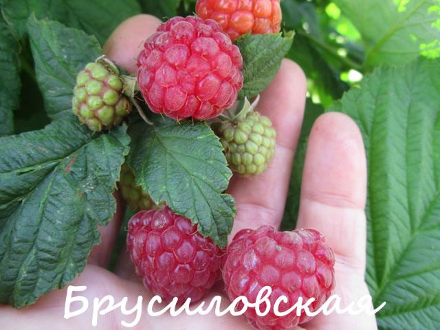 Ягоды малины сорт Брусиловская