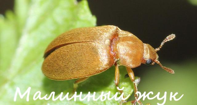 Малинный жук крупным планом