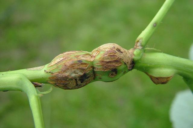 Галлы на стеблях малины - последствия поражения стеблевой галлицей