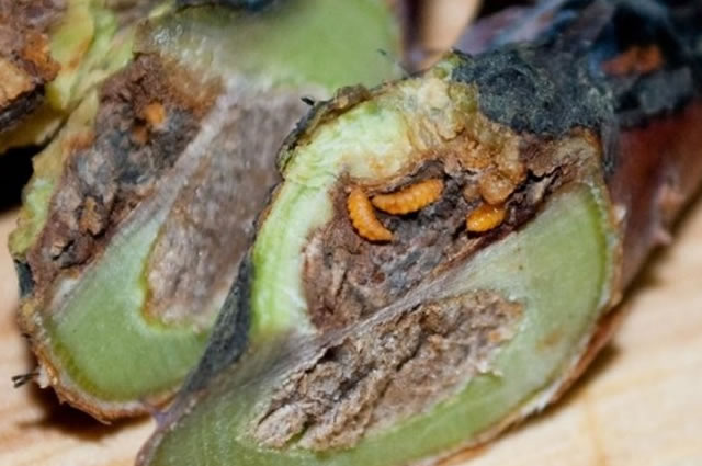 Личинки галлицы на разрезе стебля малины