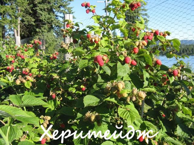 Куст малины сорт Херитейдж