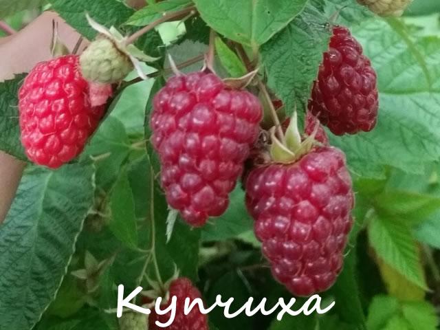 Плоды малины Купчиха крупным планом