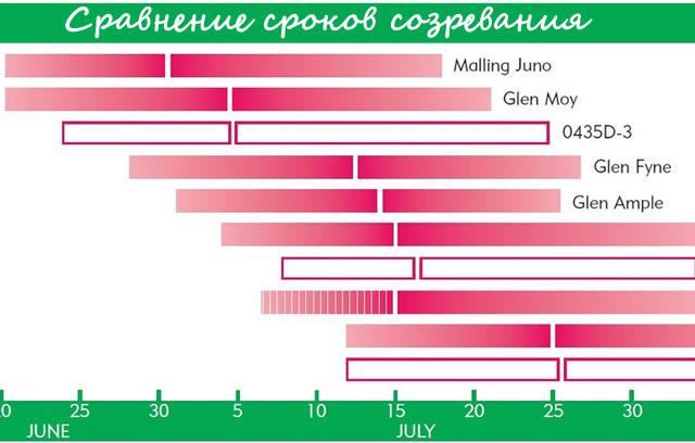 Сравнение сроков созревания Моллинг Джуно с другими сортами