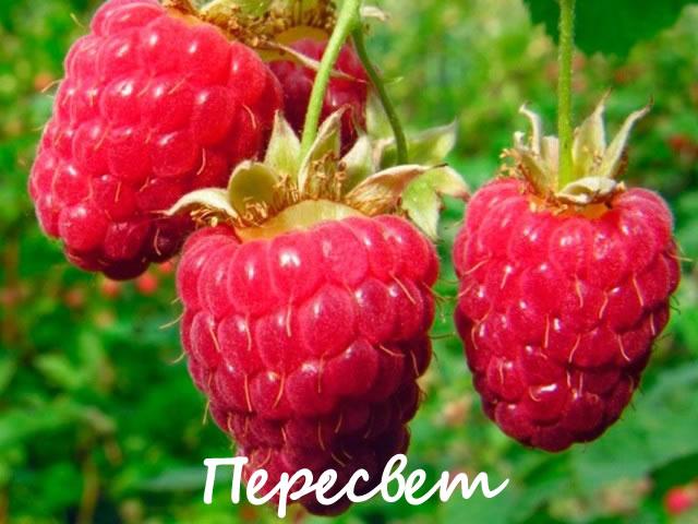 Плоды малины сорт Пересвет