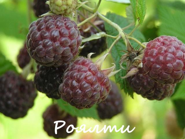 Фиолетовая малина сорт Роялти