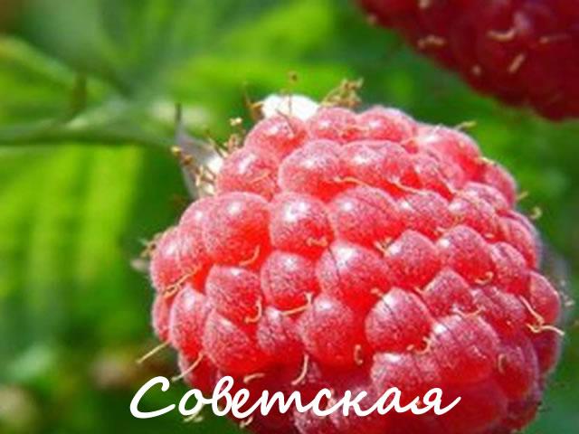 Ягода малины сорт Советская